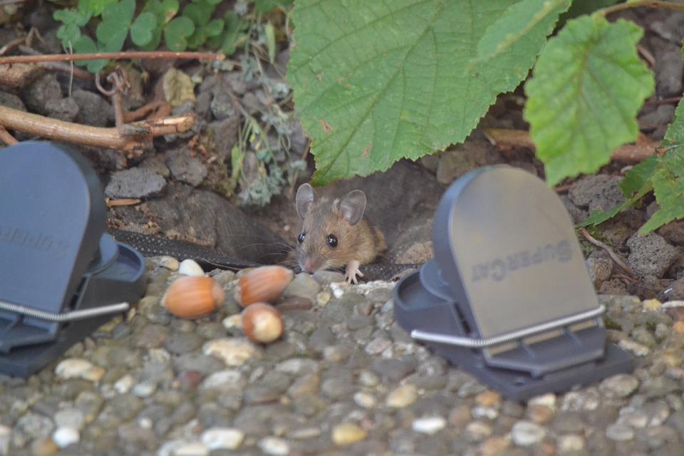 Effrayer les rats : comment le faire sans poison ni pièges